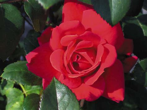 when to cut back roses can i cut back my double knock out roses houston chronicle