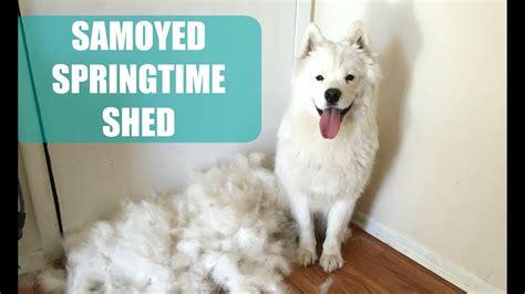 shedding puppy coat meeko s shed vlog samoyed puppy blows coat