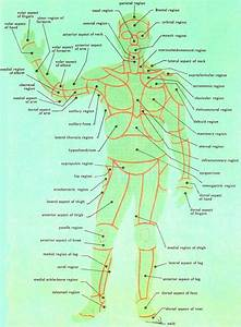 Human Body Region Diagram Anterior View