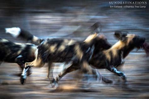 wild african dogs hunting kill kills elite morning duiker