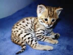 savana cat kitten kitty cats cats