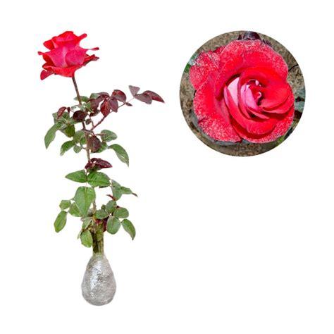 jual kebun bibit mawar pelangi tanaman bunga hias