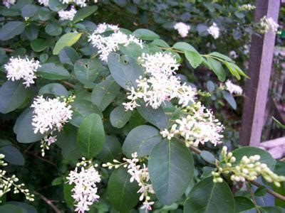 Fragrant Flower Shrubs Plant  View Specifications