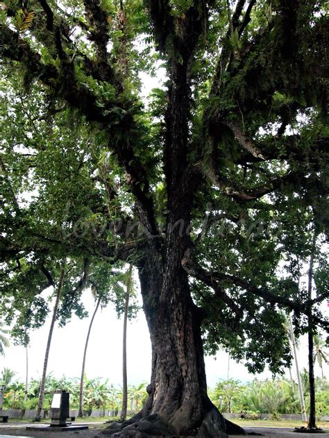 of tree this centennial bitaug tree in the coastal community of caloc an magallanes was believedto be