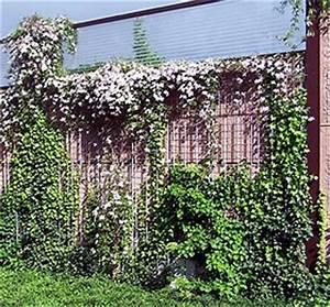 Immergrüne Kletterpflanze Für Zaun : clematis montana fassadenbegr nung mit kletterpflanzen ~ Michelbontemps.com Haus und Dekorationen