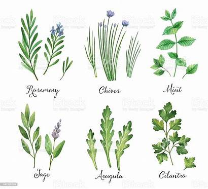 Herbs Watercolor Wild Vector Spices Hand Painted