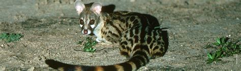Genet African Wildlife Foundation