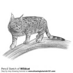 wildcat pencil drawing   sketch wildcat