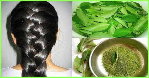 curry leaves  hair growth