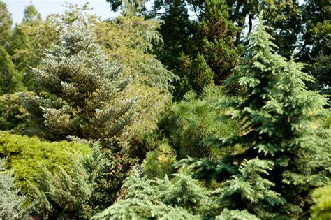 ornamental conifers benenson ornamental conifers nybg