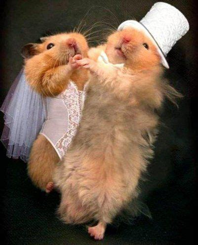 funny hamsters  married funny pinterest funny