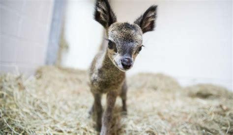 baby klipspringer born  lincoln park zoo nbc chicago