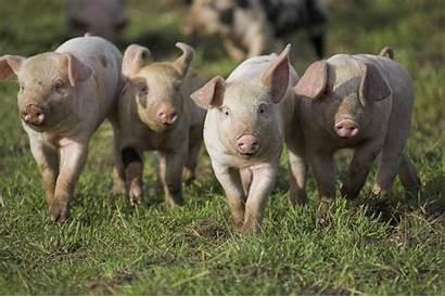 Farm Animals Animal Rspca Pigs Welfare Many