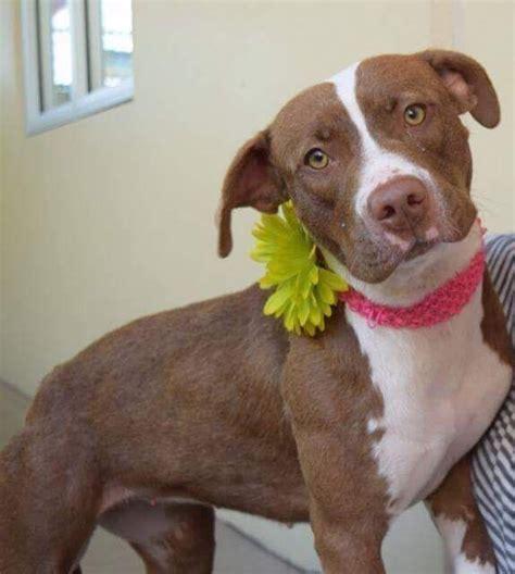 american staffordshire terrier dog  adoption  dallas