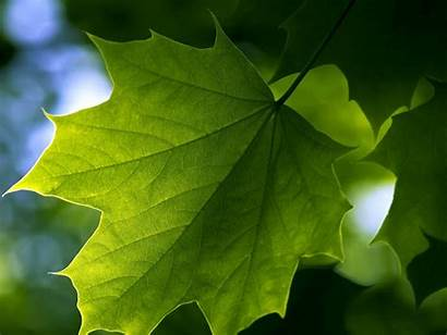 Leaf Wallpapers Backgrounds Tag