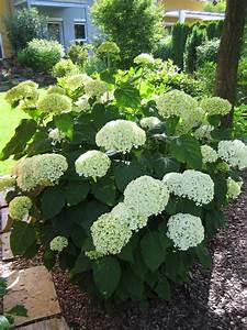 Hortensie Im Topf : welche sorte hortensie oder lieber andere pflanzen page 2 mein sch ner garten forum ~ Eleganceandgraceweddings.com Haus und Dekorationen