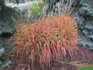 miscanthus purpurascens grass ornamental sun showy fall colours winter interest showy
