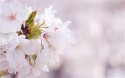 Blossom Cherry Desktop Wallpapers 4k Pixelstalk Laptop