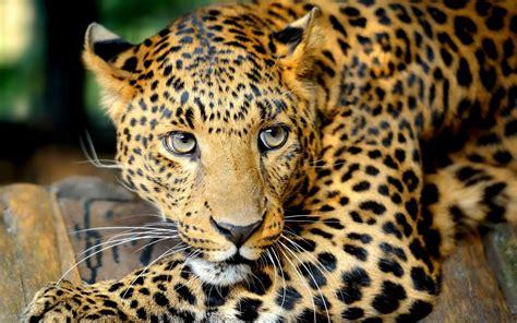 tiger ultra hd animal  wallpaper