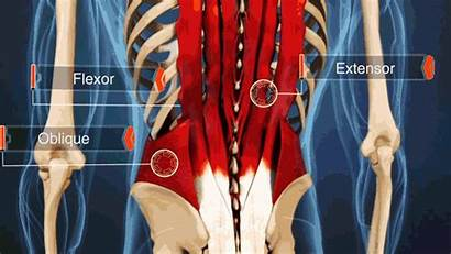 Lower Muscles Muscle Spine Movement Pull Lumbar