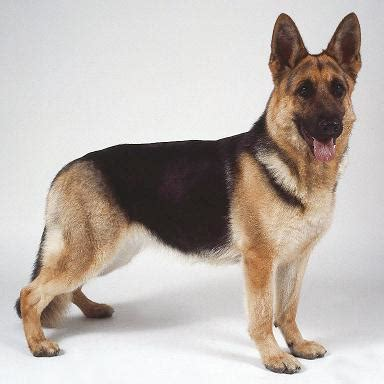 cit   impression  german shepherd