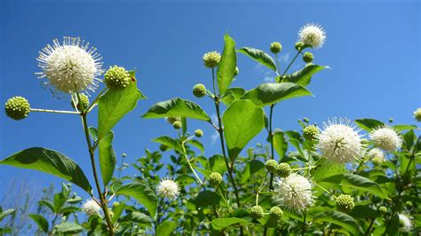 Cephalanthus occidentalis (common buttonbush): Go Botany