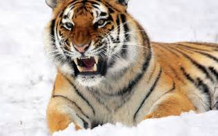 interior design websites home fierce tiger in the snow widescreen wallpaper wide