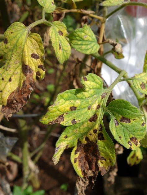 tomaten vor krankheiten schuetzen plantura