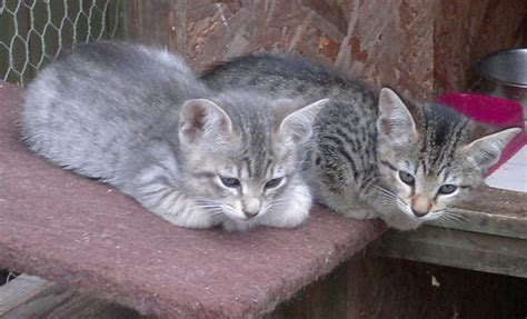 Stunning Silver Tabby Siamese x Bengal Kittens ...