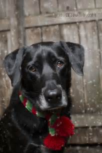 Black Lab Christmas Dog