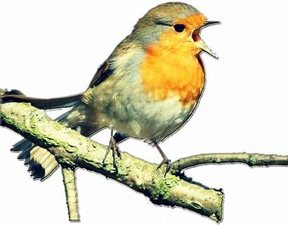 Burung Kicau Dan Bertelur Giring Merpati Siklus