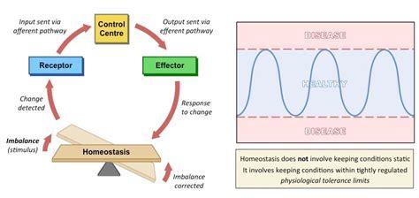 homeostasis bioninja