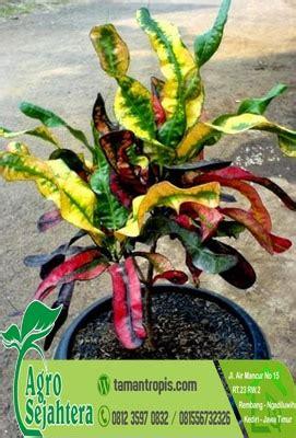 jual tanaman hias puring kirana