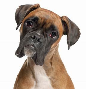 No. 8: Boxer - 2014's Most popular dog breeds in the U.S ...