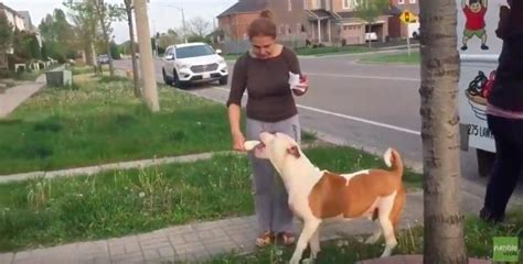Pit Bull Patiently Waits For The Ice Cream Truck Every Day