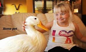 Caring And Raising Ducklings The Poultry Guide