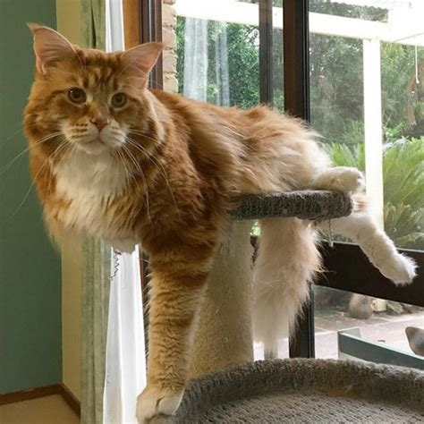 3.93-Feet: Omar The Maine Coon Cat Might Be World's