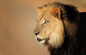 Lion essay in english - research Paper, essay, writing Topics