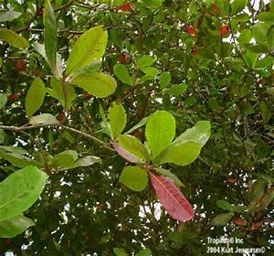 Terminalia Catappa L. - TROPICAL ALMOND