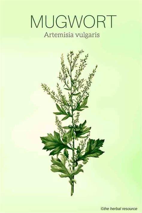 mugwort herb  side effects  benefits