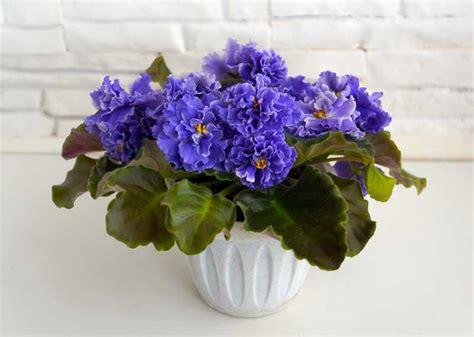 african violets pots violet pot plant garden