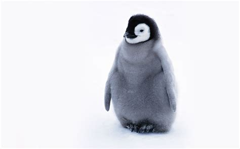 Cute Baby Penguin Desktop