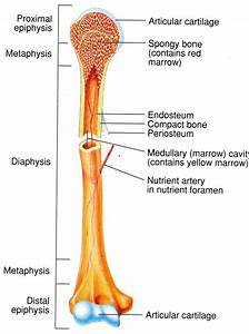 Minks Bone Diagram