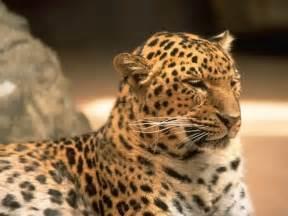 big cat in spots wallpapers animals animaljpg ru