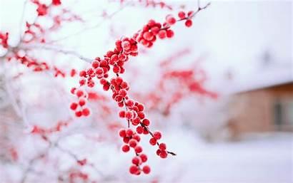 Winter Branch Tree Berries Nature