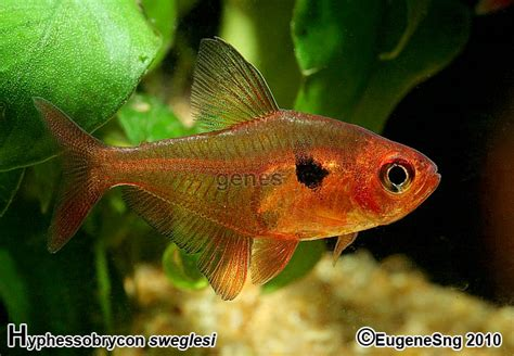red phantom tetra aquaticquotientcom photo gallery
