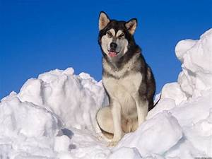 alaskan malamute in snow picture