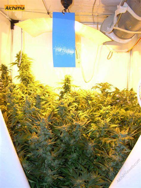 chambre de culture cannabis interieur culture interieur de cannabis du growshop alchimia