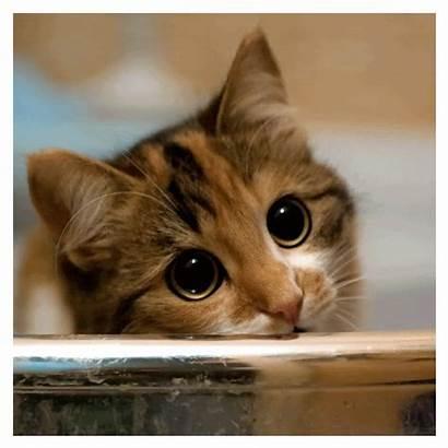 Cats Kitty Kittens Wiki Eyes Calico Pastel