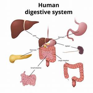 Middle School Digestive Diagram